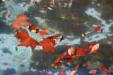 Fall Foliage in a Fountain Pool