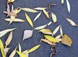 Sidewalk Foliage - Mostly Willow & Dogwood