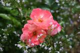 Peach Drift Roses & Calamintha