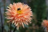 Dahlia & a Bee