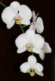 My Neighbors' White Orchids