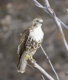 Redtail Hawk - Juvenile