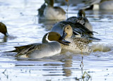 Northern Pintail Love