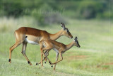 Impala mother and lamb