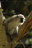 Vervet monkey eating wild figs