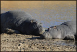 Hippos enjoy a day long lunch break