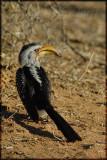 Yellowbilled hornbill (Tocus leucomelas)