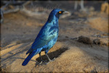 Glossy starling (Lamprotornis nitens)