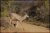 Young kudu (Tragelaphus strepsiceros)