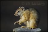 Tree squirrel (Paraxerus cepapi)
