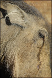 Warthog female (Phacochoerus aethiopicus)