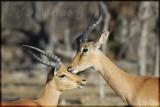 Grooming impalas (Aepyceros melmpus)