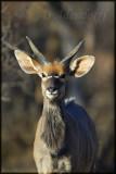 Young nyala ram (Tragelaphus angasi)
