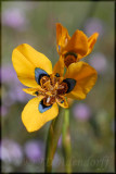 Iridaceae (Iris Family)