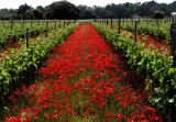 vineyards and  poppies