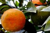mandarin orange tree in an urban parc