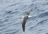 Whitecapped Albatross