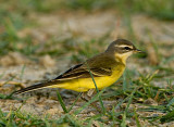 Yellow Wigtail