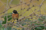 Stonechat -Saxicola dacotiae