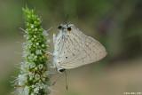 Deudorix livia 4201