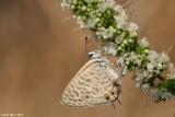 Lampides boeticus 4128  -    cahlil ahafoon