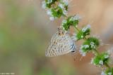Lampides boeticus 4132-    cahlil ahafoon