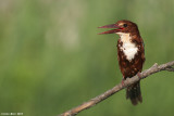 White throated King_fisher 4894
