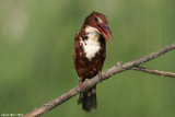 White throated King_fisher 4889