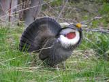 Dusky grouse male (Paler interior form)