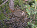 Hermit Thrush (sitting on eggs)