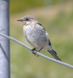 Mountain Bluebird (juvenile)