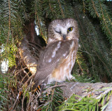 Northern Saw Whet Owl winking