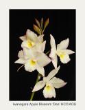 20074113 - Iwanagara Apple Blossom 'Dee' HCC/AOS (79pts)