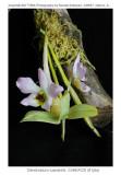 20077891 - Dendrobium trantuanii 'Silas'CHM/AOS (81pts)