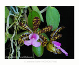 20074116 - Cattleya aclandiae Claire II HCC/AOS (79pts)