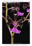 20074121 - Encyclia cordigera 'Kathleen' AM/AOS 89 pts.