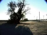 219-Tamarisk trees on RR ROW, Cadiz.jpg