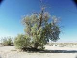 251-Large Salt Cedar at Cadiz.jpg