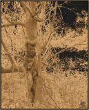 Man Hiding Inside  Copper Tree