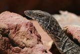 Australian monitor lizard Varanus giganteus