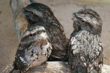 December 1. Tawny Frogmouths