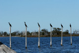 Six little Cormorants sitting on the poles