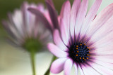 Good old Osteospermum