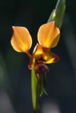 Diuris (Donkey Orchid)