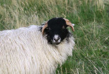 A woolly resident of Weardale