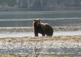 Grizzly  Bears of Katmai
