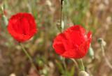 Poppies in Ephesus