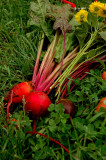 Glorious Beets