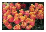 0221 - Roses