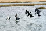 Brown Pelicans Diving Squadron